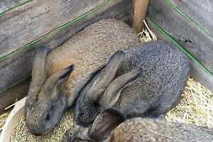 Two Rabbits Ulverstone Central Coast Preview
