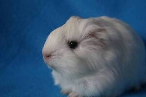 BABY GUINEA PIGS (MALE) Winthrop Melville Area Preview