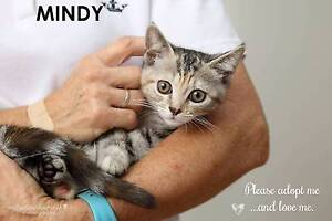 RESCUE KITTEN - Mindy - Cat Rescue Port Stephens Salamander Bay Port Stephens Area Preview