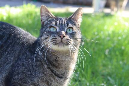 Burmese cat breeders hunter valley