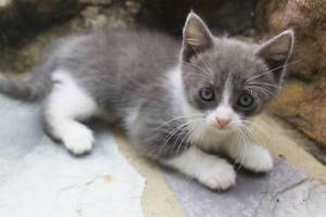 2 Grey and white kittens