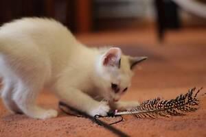Snowshoe   female kitten  pedigree Healesville Yarra Ranges Preview