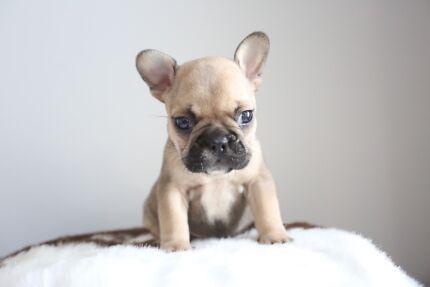 French Bulldog Female