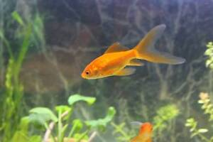 2 comets goldfish for sale Leichhardt Leichhardt Area Preview
