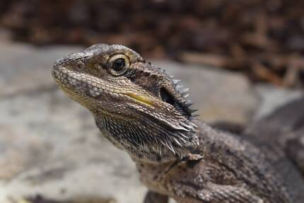 Baby Eastern Bearded Dragon - No license required