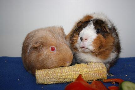 Guinea Pigs for Adoption (Cavy Angel's) Elanora Gold Coast South Preview