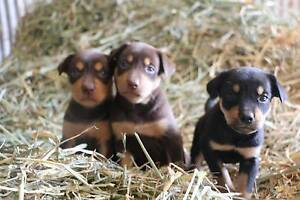 KELPIE PUPS Cambrai Mid Murray Preview