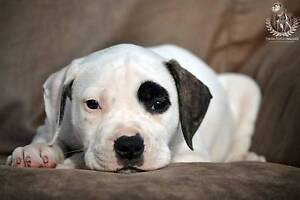 Purebred & Papered Female American Bulldog Puppy Geelong Geelong City Preview