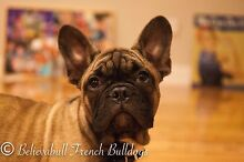 French Bulldog Fawn Male Puppy with Papers St Clair Penrith Area Preview