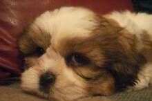 Shih Tzu Puppies Adelaide CBD Adelaide City Preview