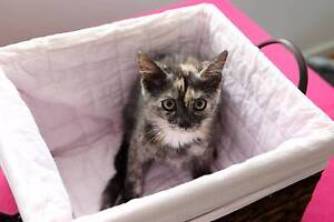 RESCUE KITTEN - Molly - Cat Rescue Port Stephens Salamander Bay Port Stephens Area Preview