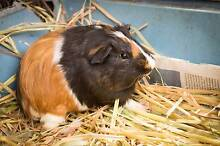 Turbo and Zippy Guinea pig brothers Ingleside Warringah Area Preview
