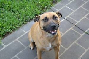 Female tan staffy x 4 years old Narellan Vale Camden Area Preview