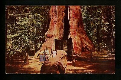 Tree postcard California Redwood Calaveras Big Trees State Park Pioneer Cabin