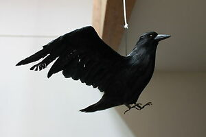 Furry-Animal-Feather-Black-Flying-CROW-Raven-Taxidermy-Horror-Haunted-Halloween