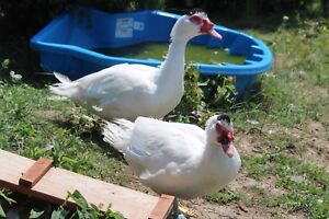 Muscovy Drake - trade for female
