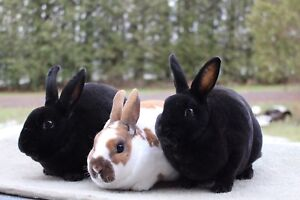 Mini Rex Bunnies