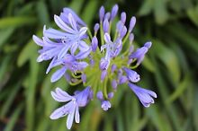 Agapanthus - blue - Ryde area Eastwood Ryde Area Preview