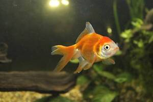 2 goldfish for sale Leichhardt Leichhardt Area Preview