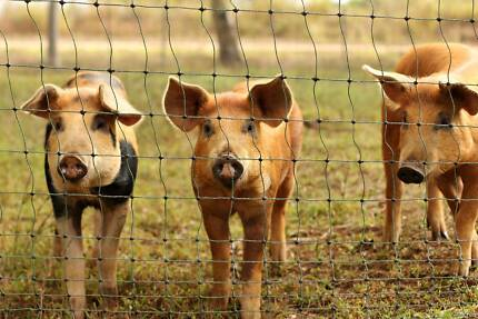Young Sow - Tamworth x Duroc x - Atherton Tablelands Pigs Herberton Tablelands Preview