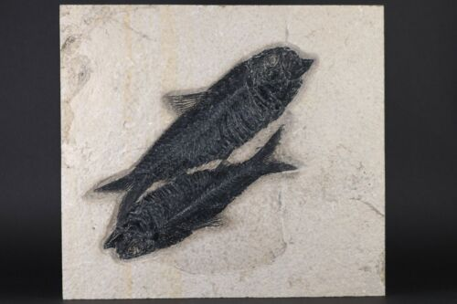 Exquisite Fossil Fish Pair Knightia Green River Formation Wyoming WY COA 10587