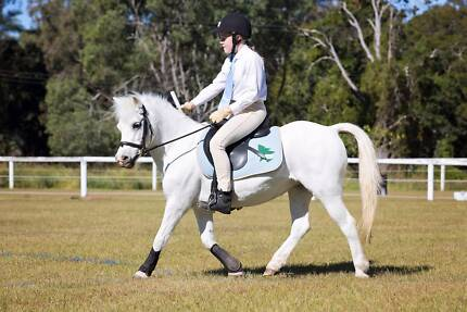 Purebred Welsh A Mare - Perfect 2nd Pony!