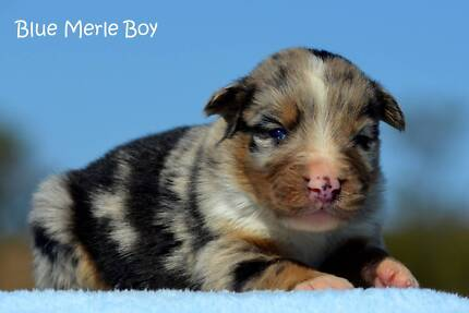 Purebred Border Collie Puppies Merles and Chocolate & Whites