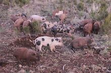 slips pigs Rocky Cape Circular Head Preview