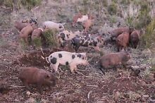 slips pigs Burnie Burnie Area Preview