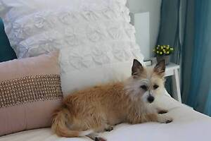 Wanted - Small breed female dog Southport Gold Coast City Preview