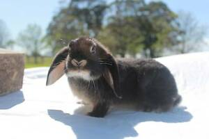Baby Mini Lop male 13 weeks old Nelsons Plains Port Stephens Area Preview