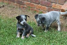 Purebred Australian Cattle Dog Pups Bligh Park Hawkesbury Area Preview