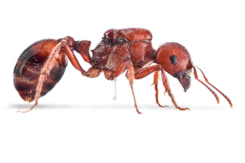 Pogonomyrmex barbatus queen - Red harvester ant - Ants-Ant Colony Starter -EASY
