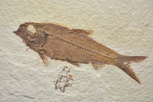 AAA Knightia eocaena Fossil Fish 8x11 Large Tile Green River Formation Wyoming