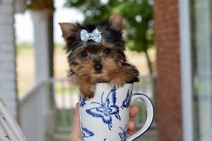 Micro Tea-Cup Yorkshire (pèsera 2.5lbs à l'âge adulte)