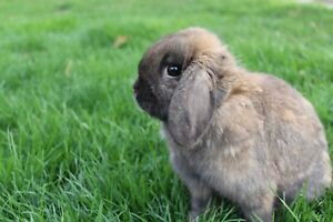 Female Holland Lop!