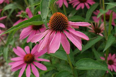 ECHINACEA PURPUREA HERB SEEDS, Medicinal and Beautiful Wildflower Echinacea Purpurea Echinacea Medicine