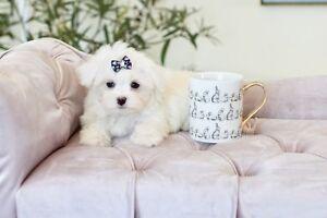 Très petite femelle Bichon Maltais Toy www.pensionpuppylove.com