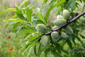 Almond Tree Glenorie The Hills District Preview