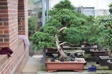 Bonsai Plant Juniper for Sale $2000 Southbank Melbourne City Preview