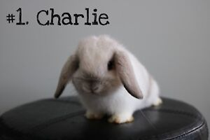 Beautiful Holland Lop Bunnies for Sale