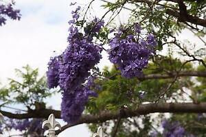 Beautiful Jacaranda Tree Bomaderry Nowra-Bomaderry Preview