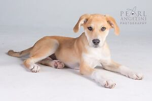 Harley - 5 months old, Male, Lab x
