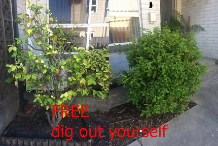 FREE CAMELIA AND OTHER BUSH, dig pull out yourself