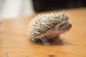 Baby hedgehogs in need of a home!