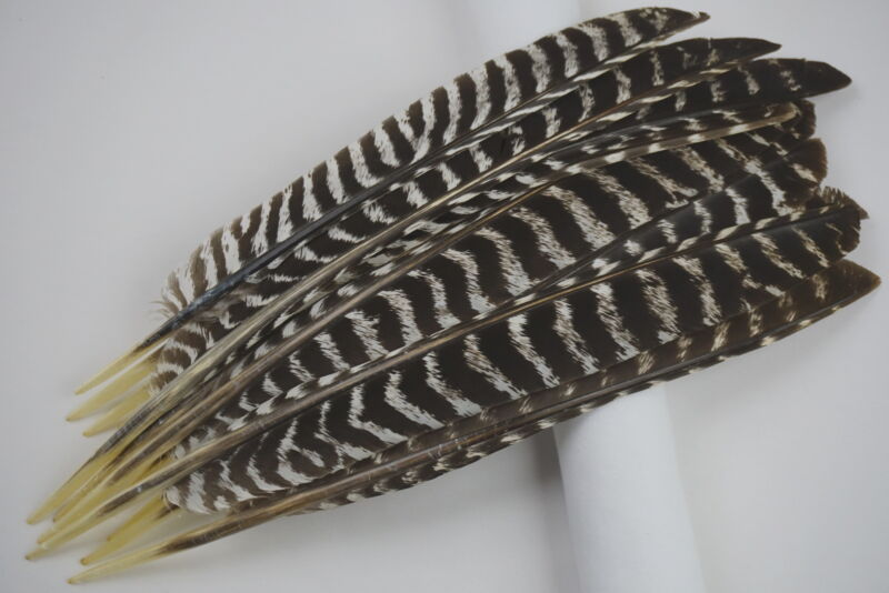 12 #1 BARRED TURKEY PRIMARY FEATHERS WITH QUILL