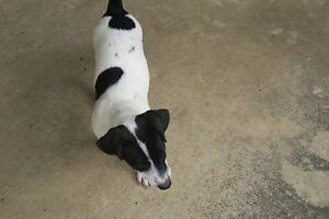 Mini foxie x Jack russell Bligh Park Hawkesbury Area Preview