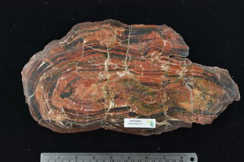 Petrified Dadoxylon Wood Lockheart Basin Utah Polished Complete Round