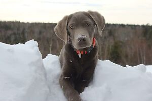 CKC Registered Silver Lab **Only females left**