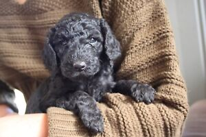 Poodle Puppies (Standard)